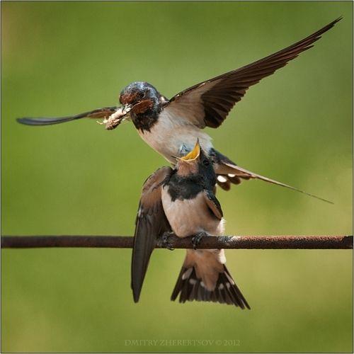 The Barn Swallow Hirundo Rustica Is Most Widespread Species Of In
