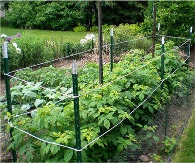 Easiest way I've seen to support raspberry plants