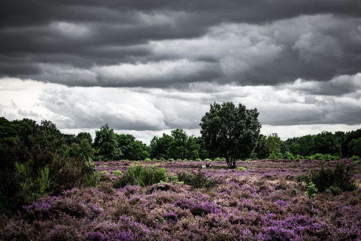 https://flic.kr/p/xVSyXL | 244/365. The heath at Hilversum is in full blaze and with the Dutch skies above it's a spectacular view any time of day. Not always a wideangle lens required.