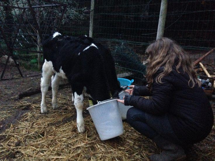 """Anna """"allatta"""" le mucche"""
