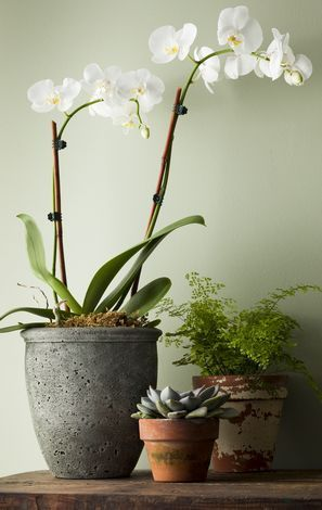 I LOVE white orchids- Fred Meyer and believe it or not, Lowes usually has a great selection and great prices