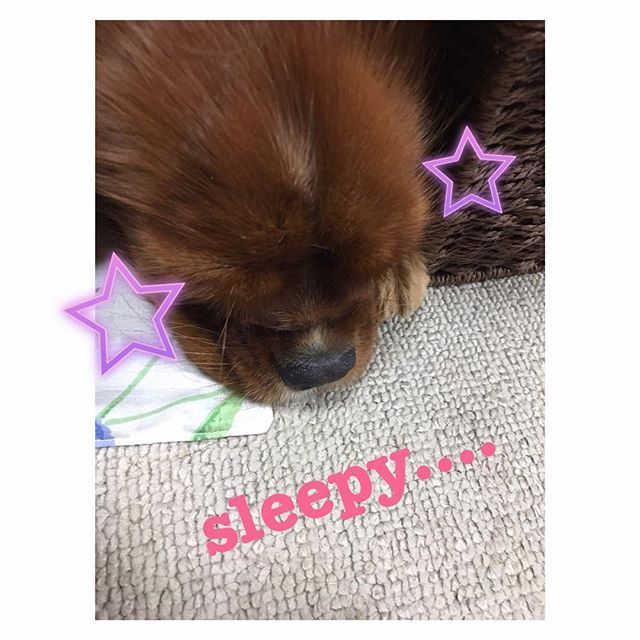 #goodnight #💤 #🐶 #ワンコ連れ#犬連れ#お出かけ#愛犬と一緒#愛犬 #cavalierkingcharles #cavaliersofinstagram #キングチャールズスパニエル#lavi#ラビちゃん#kingcharlesspaniel#spaniel#dogs#dog#family#treasure#ruby#cavaliersofinstagram#dogstagram#犬バカ部