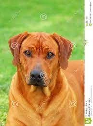 Resultado de imagen para perros rhodesian ridgeback