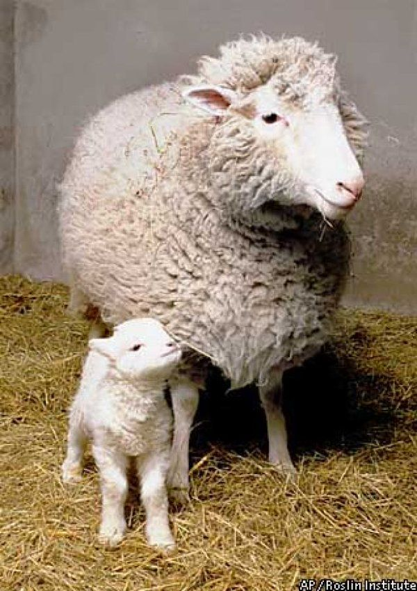 """February 14,2003-Dolly """"world's most famous sheep"""" 1st mammal to be cloned from adult cell dies of lung disease at 6"""