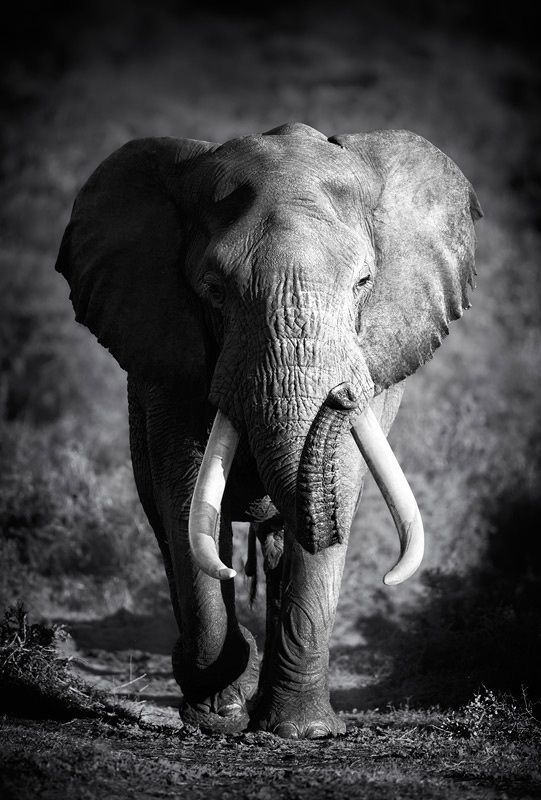 Large Elephant Bull Approaching (Artistic processing)