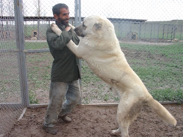 19 best images about Kangal on Pinterest