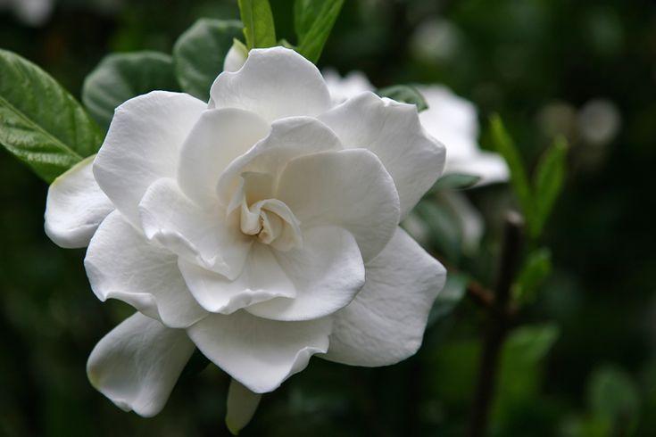 Gardenia è un genere di piante della famiglia delle Rubiaceae