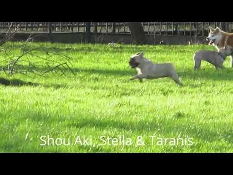 Japanese Akita Inu and French Bulldog