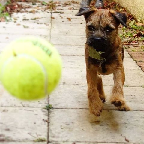 @cooper_the_border_terrier Loves Wimbledon so his favourite sporting moment is being a ball boy for #HeidisSportingHeroes Competition