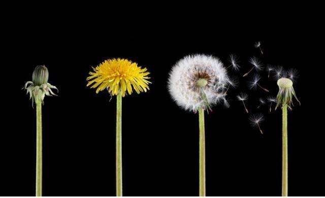 Dandelion life cycle