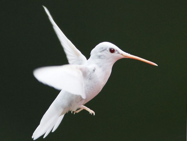 Extremely rare albino ruby-throated hummingbird: Humming Birds, Albino Animals, Ruby Throated Hummingbird, Beautiful, Rare Albino, Photo, Albino Hummingbird, Hummingbirds