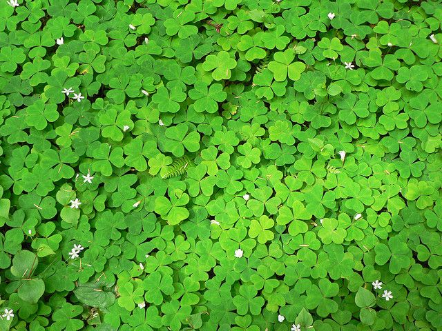 clover can actually be mowed to create a lawn clover is low maintenance drought tolerant. Black Bedroom Furniture Sets. Home Design Ideas