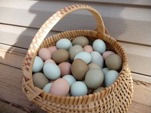 Araucana chickens lay eggs in different colors, from khaki to pale blue. http://i53.photobucket.com/albums/g46/sgtmom52/Chickens/P1120689.jpg