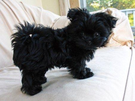 Our solid black Mi Ki sire, Henry, at 10 weeks