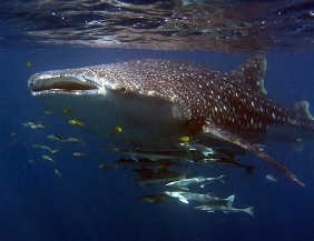 the biggest fish in the world, the whale shark, at Ningaloo Reef with some groupies and hanger-ons