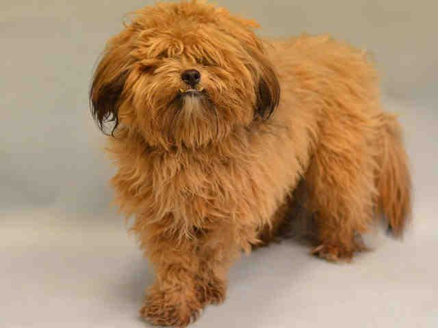 TRUMPET - A1106455 - - Manhattan  TO BE DESTROYED 03/22/17 **NEEDS A NEW HOPE RESCUE TO PULL** -  Click for info & Current Status: http://nycdogs.urgentpodr.org/trumpet-a1106455/