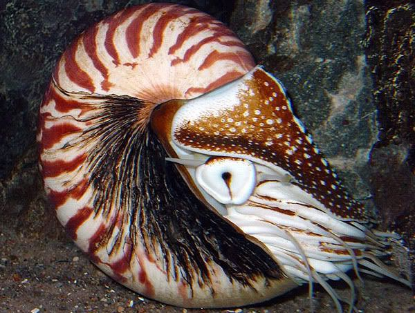 10 Best Phylum Mollusca Images On Pinterest Animales Ocean