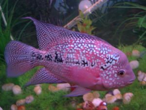 Flowerhorn cichlid - Collecting up my prior pins here for re-casting on new boards.