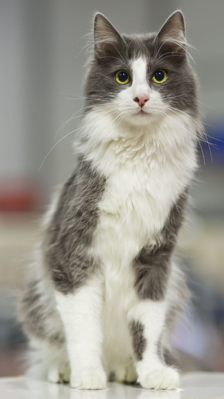 My cat, Minush, was part Turkish Angora. He looked a lot like this. He got hit by a car last week. :(