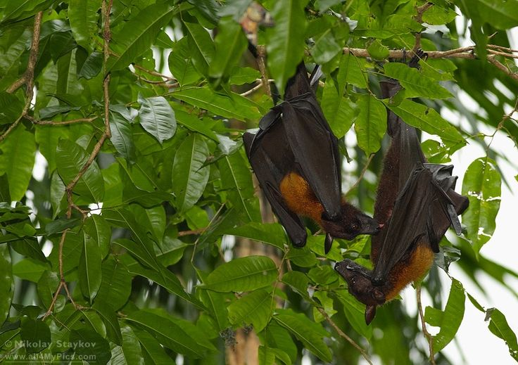 Acerodon jubatus - Giant Golden-Crowned Flying Fox