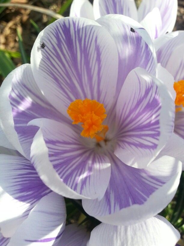 102 best flowers images on pinterest beautiful flowers exotic beauty violet and white flower really pops with the bright orange center mightylinksfo