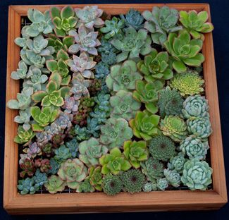 succulents are fun unusual and easy to grow they do well both indoors and out and can be used in many creative ways try some of our ideas below to mak