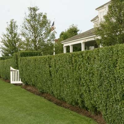 Privet Hedge: A fixture of the suburban landscape 50 years ago, fast-growing privet (Ligustrum ovalifolium and L. amurense) remains a fine choice where conditions are right: To thrive, this deciduous shrub requires a temperate climate and a homeowner willing to wield sharp shears as often as needed.