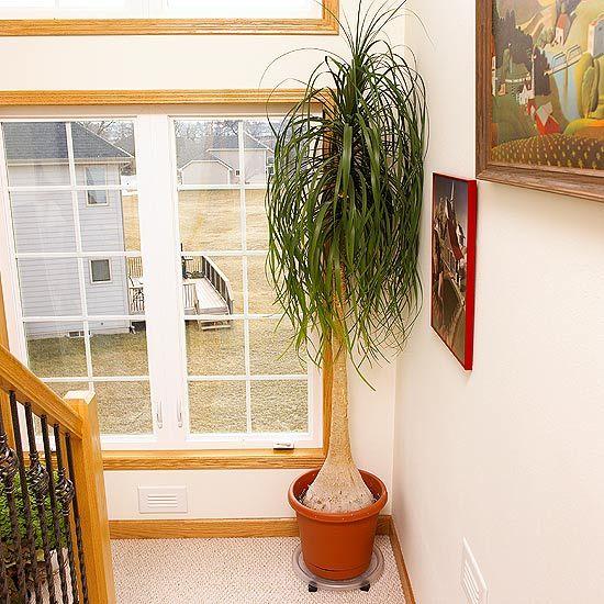 La nolina, Beaucarnea recurvata, es una Agavácea como la yuca y la pita que acumula el agua en la base del tronco. Sus hojas son largas y estrechas y de color verde intenso. Alcanza normalmente unos 150 cm de altura aunque hay ejemplares que pueden alcanzar más de 10 metros de altura. Es una planta muy longeva que puede vivir varios siglos.