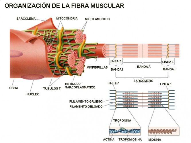 Claves de la hipertrofia muscular http://blgs.co/FC833F