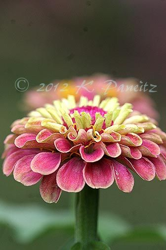 Zinnia 'Queen Red Lime', Truly the best zinnia I've ever grown!