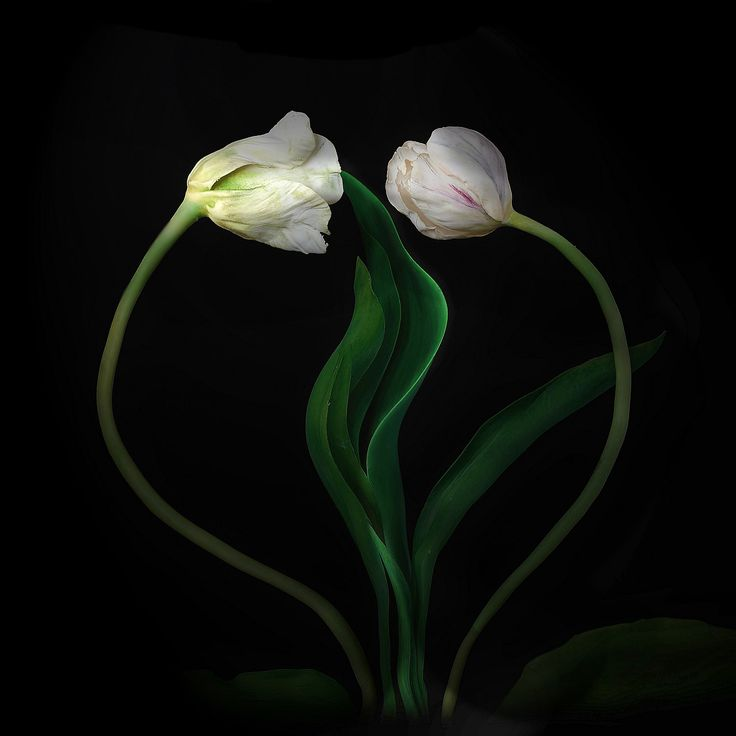 cold porcelain #tulips #love