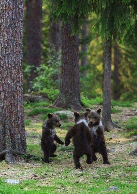 Baby bears dancing in the woods ;)
