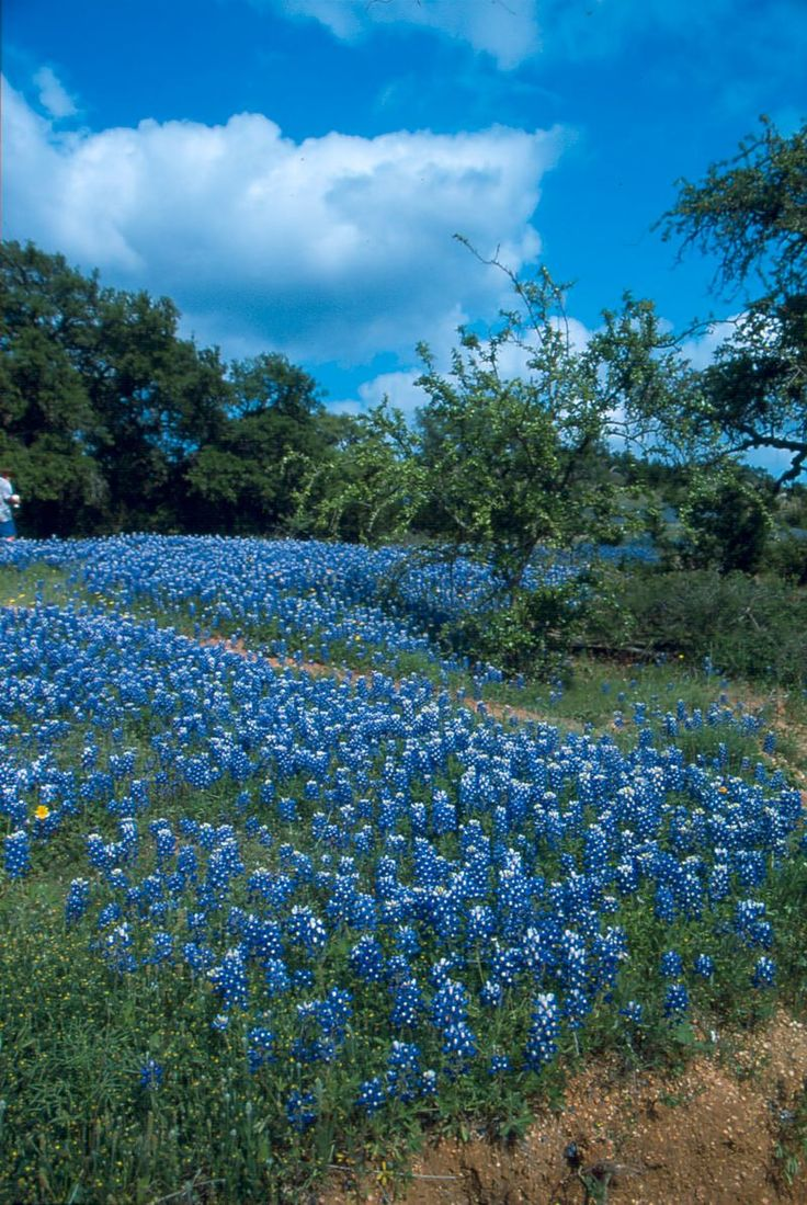 44 best beautiful bluebonnets images on pinterest texas