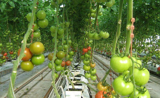 Van ilinin Çaldıran ilçesinde yer alan Ayrancılar bölgesinde, jeotermal enerji ile ısıtılan seralarda ilk domates hasadı yapıldı. Bazı