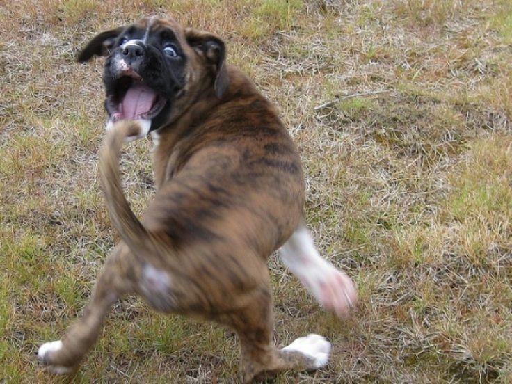 E' un comportamento che fa ridere molta gente: il #cane si morde la coda. Cosa c'è dietro a questo comportamento del cane?