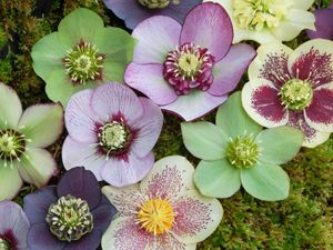 Helleborus/ Christmas rose. Very colorful for shade plants! Bloom in winter and early Spring. Frost-resistant and evergreen. The most popular hellebores for garden use are undoubtedly H. orientalis and its colourful hybrids (H. × hybridus).