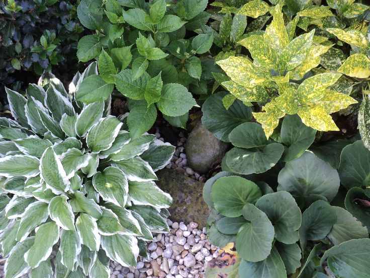 Aukuba, hortenzie, bergenie, hosta a cesmína - květen 2016