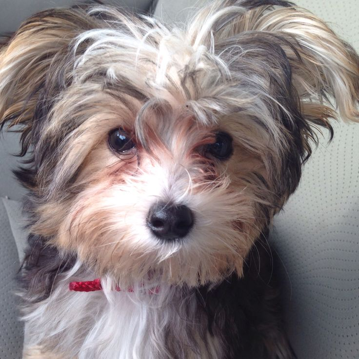 maltese rescue northern california 17 best images about cute biewers yorkies shorkies on 3471