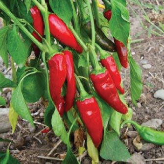 167 best chilli varieties images on pinterest chili - Best romanian pepper cultivars ...
