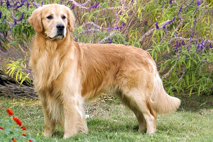 Golden Retriever Dog Breed Information Dog Breeds Calm Dog