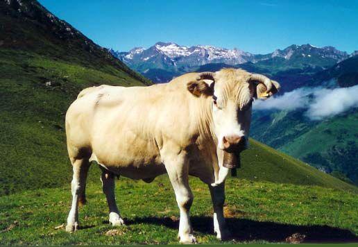 Vache de race Blonde d'Aquitaine