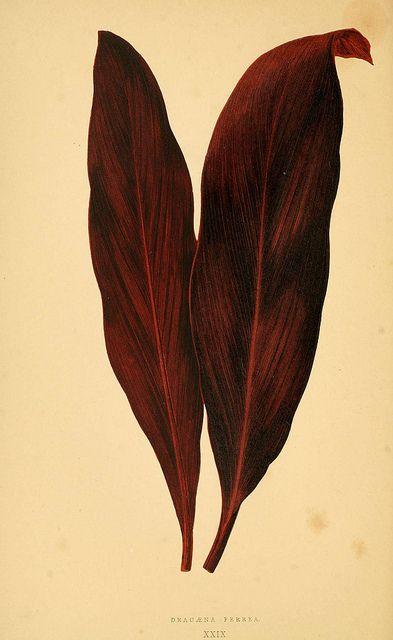 Les plantes a feuillage coloré. v.1.  Paris :Rothschild,1867-1870.  biodiversitylibrary.org/item/55539