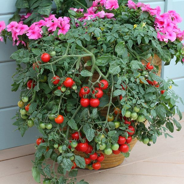13 Basic Tomato Growing Tips For Containers To Grow Best Tomatoes | Balcony Garden Web