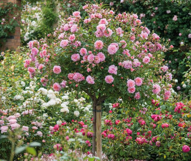 Go For Oversized Florals: Underplanting Roses With Companion Plants- Link Has Long
