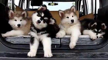 Ce ne sont pas des peluches, mais de mignons chiots ! 5 superbes chiots Malamute de l'Alaska, qui bougent la tête en rythme sur de la musique... C'est magique !!