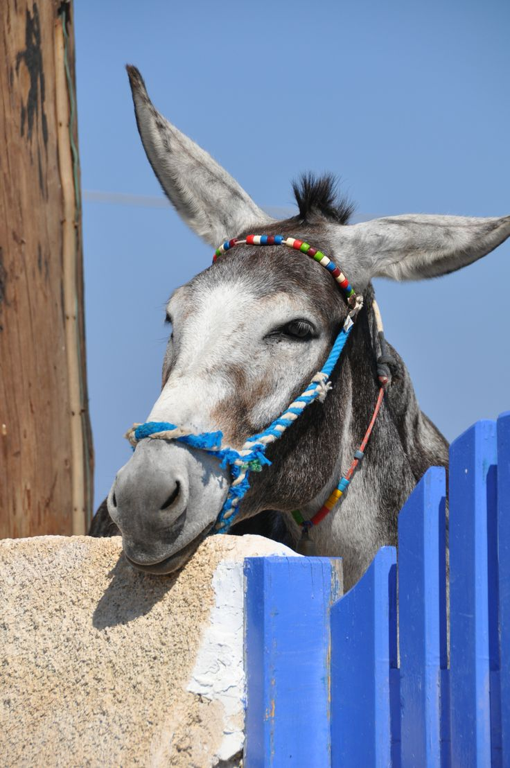 Greek Islands Donkey