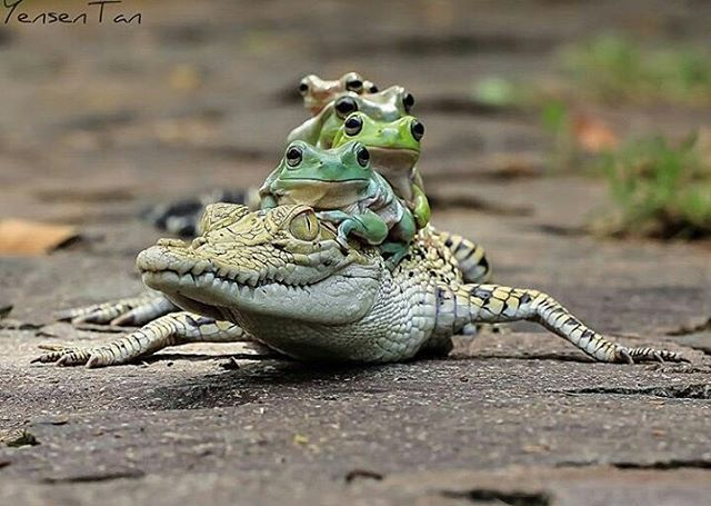 Crocodile taxi 😂😂😂😂 | Photo by @yensen_tan #Destination_wild