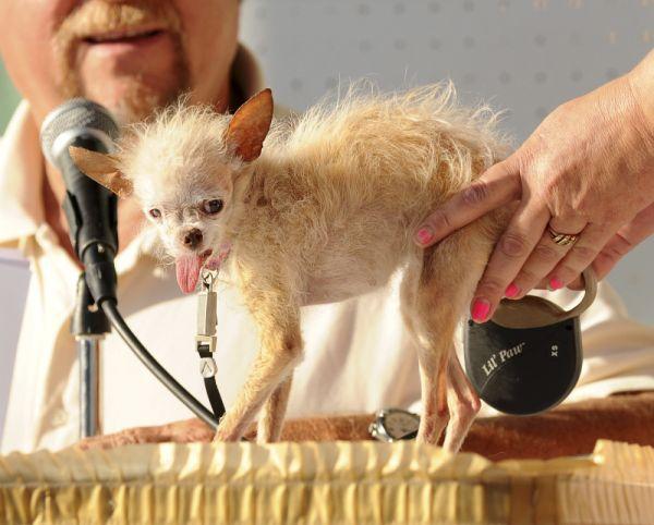 R.I.P. Yoda, the World's Ugliest DogDogs 2011, Crest Dogs, Pets, Yoda, Dogs Contest, The Dogs, Animal, Uglies Dogs, Ugliest Dogs