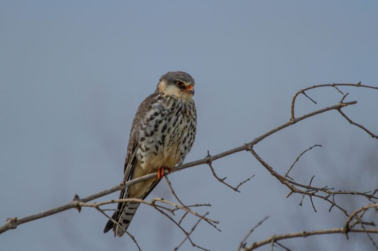 Amur falcon in the Kruger
