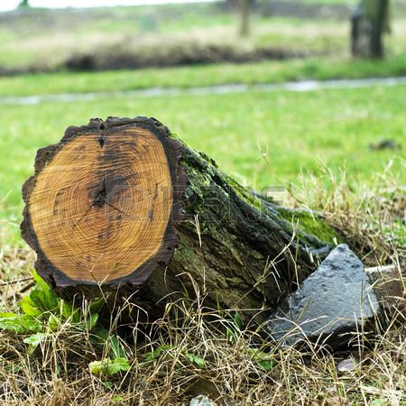 Tree stump with recent saw cut resulting from the trees removal..